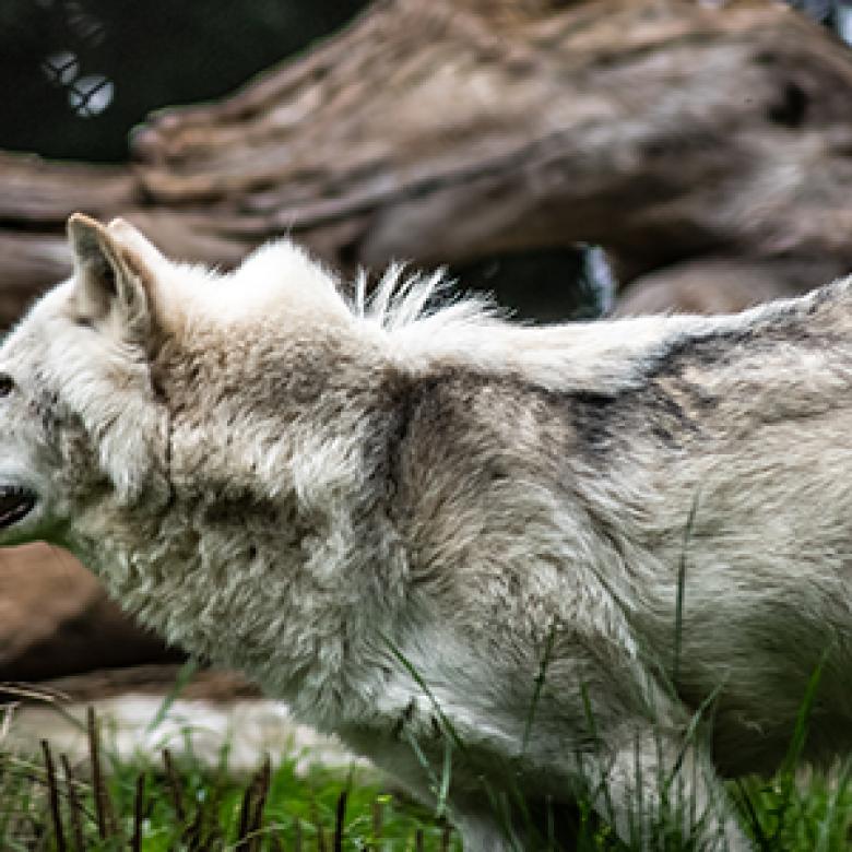Feeding Wolves